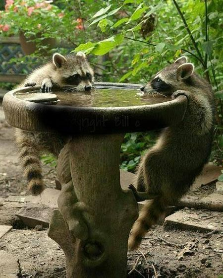 Wildlife Pond Surrounded By Pebbles: How To Keep The Raccoons Away