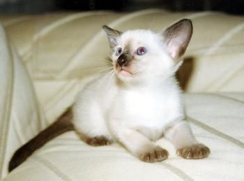 Siamese kittens for sale at Suyaki Siamese Cattery, a
