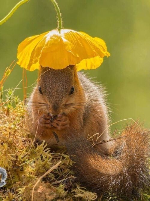 Squirrel under a yellow poppy