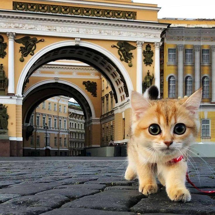 региональном кошки санкт-петербурга картинки чистокровная порода