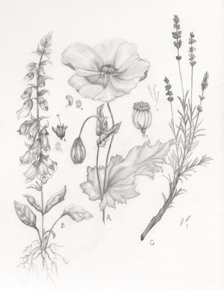 www.madisondrinkall.com   Botanical drawing