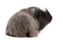 This guinea pig's unusual rhinoceros style haircut is an example of working with colouring and creativity to come up with a unique look.