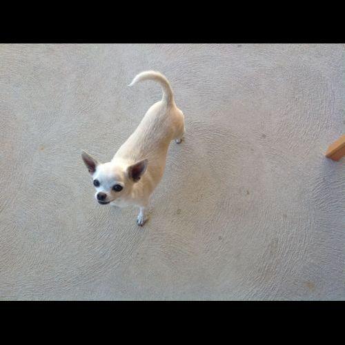 LOST: Abby http://ow.ly/FSadL Female, White, Chihuahua #EverardPark #Adelaide SA #LostDogEverardPark #LostDogAdelaide #LostPetFinders