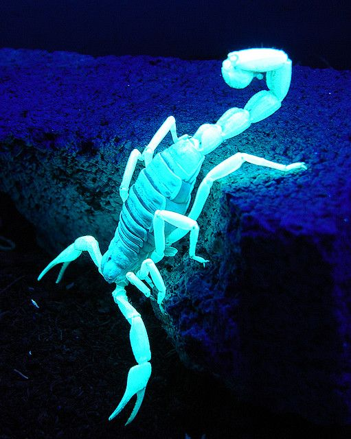 Animals That Glow Like A Scorpion