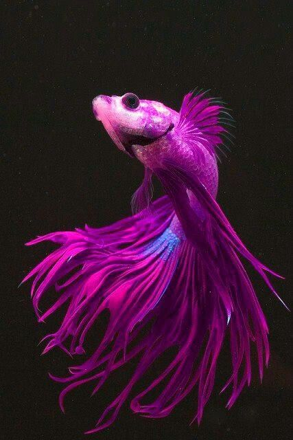 6. Nature -- Fish The purple blue colors of the Beta fish would be a beautiful…