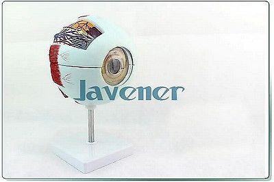 Magnify Human Anatomical Eyeball Anatomy Medical Model