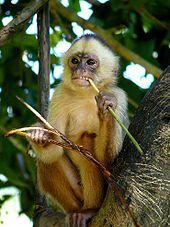 Capuchin monkeys' manual dexterity is one reason they can assist quadriplegic humans.