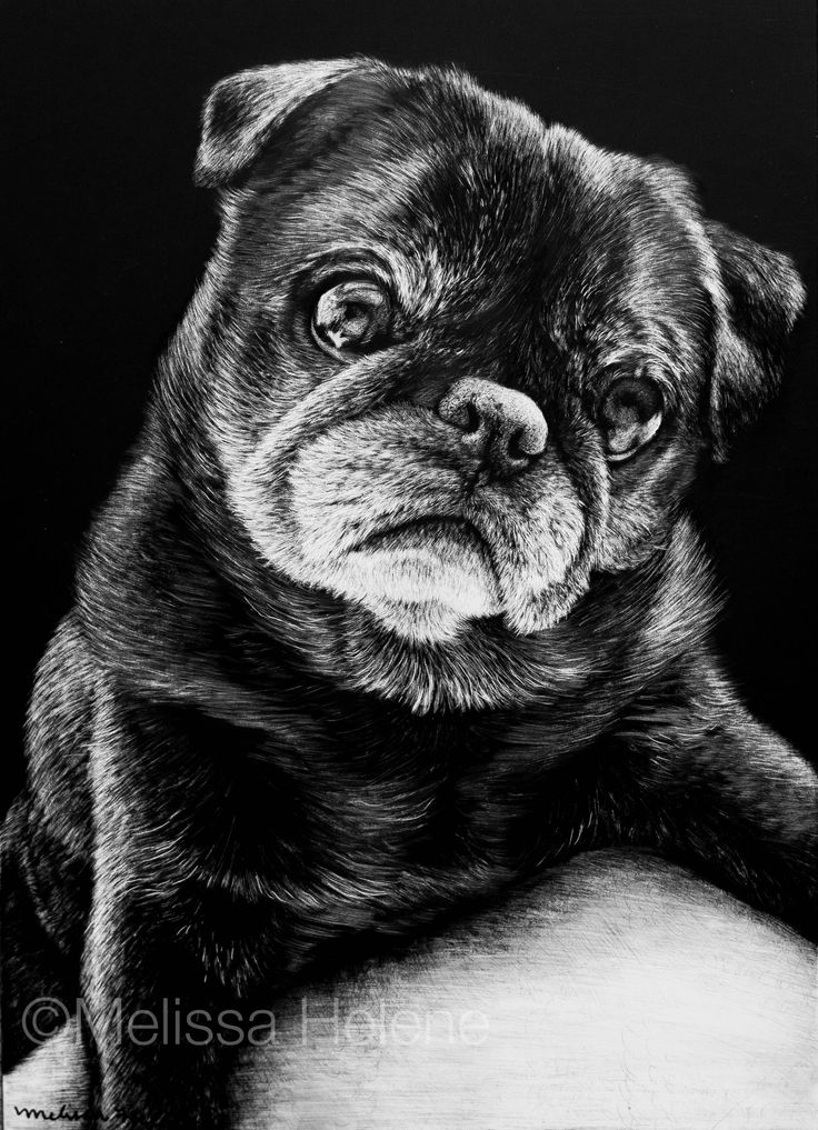 Zoey   Melissa Helene Fine Arts + Photography 5x7 scratchboard www.melissahelene.com #artwork #blackandwhite #art #commission #petportrait #portrait #scratchboard #scratchart #dog #dogportrait #melissahelenefinearts