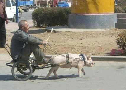 PIG pulling a cart - poor pig!