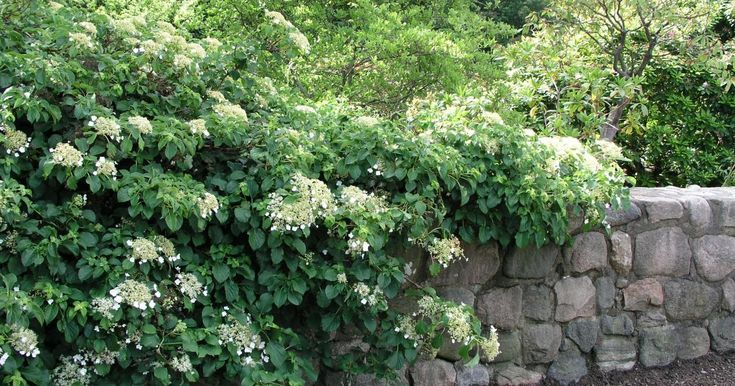 1000 ideen zu kletterhortensie auf pinterest schattengarten hortensien und blumengarten. Black Bedroom Furniture Sets. Home Design Ideas