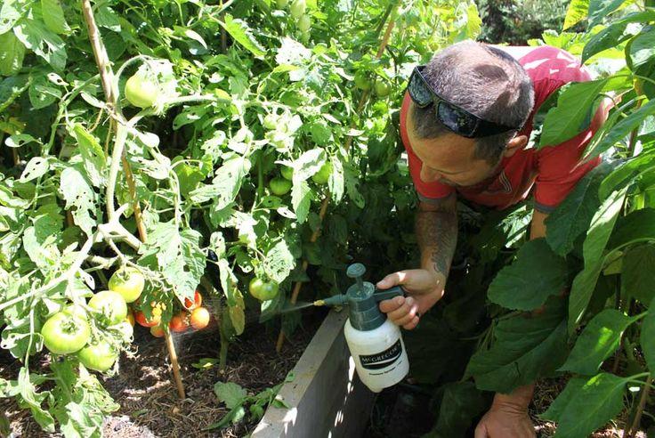 A kertben végzett nagyobb műveleteknél, talán szükség van a modern technika vívmányaira, de a kisebb teendőknél érdemes környezetbarát és olcsó alternatívát keresni.    Az egyik ilyen alternatíva a szódabikarbóna használata a kertben. Mutatjuk, mire jó! Gombaölő Keverjünk össze 4 teáskanál szó