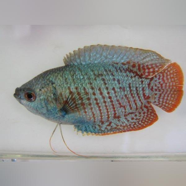 Neon Blue Dwarf Gourami Fish Aquarium Fish For Sale Tropical Fish Aquarium