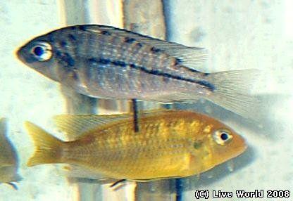 """Protomelas fenestratus """"Eastern"""" самка"""