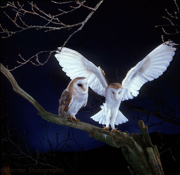 images of owls | WP13688 Barn Owl ( Tyto alba ) pair, male alighting beside female ...