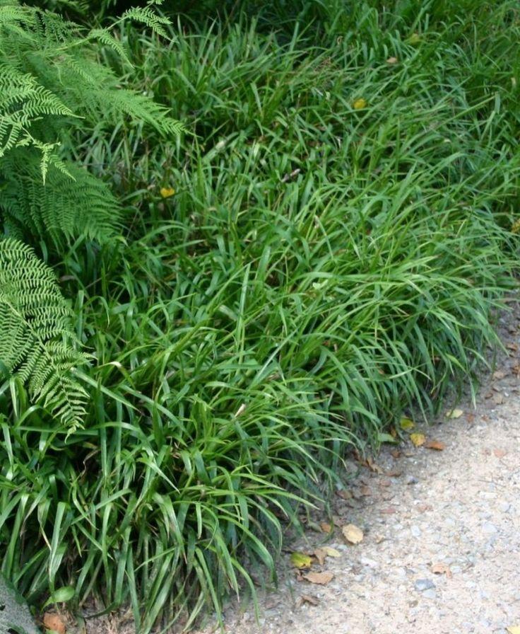 Lazula sylvatica (grote veldbies) bloei juni-julie, 30-80 hoogte, volle zon halfschaduw,schaduw,groenblijver,winterhard
