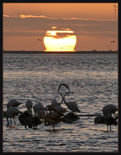 Flamingos and sunset