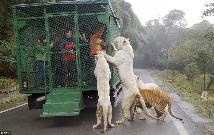 Where tigers roam free and you're in a cage. Would you visit Lehe Ledu Wildlife Zoo? #china #travel #chongqing
