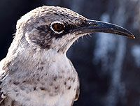 Mockingbird -Hood Island, GalapagosMockingbird Hoods, Mammals Etc Galapagos, Buckets Lists, Lovable Critter, Hoods Islands, Islands Mockingbird, Enchanted Isle