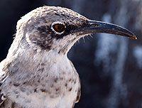 Mockingbird -Hood Island, Galapagos