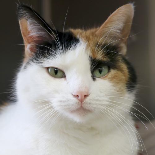 Hi, I'm Neary! I'm a 4 year old spayed female calico or dilute calico Domestic Short Hair.