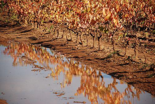 Vendanges à Quinson. Les Alpes de Haute-Provence sont aussi une terre de vignes et de vin