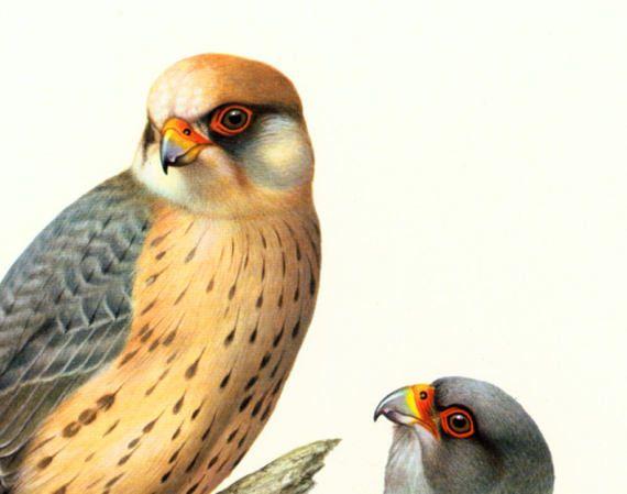 1961 Falcon Print Red Footedfalcon Wall Art Bird Of Prey Illustration Vintage Ornithology Art Illustration Altered Art
