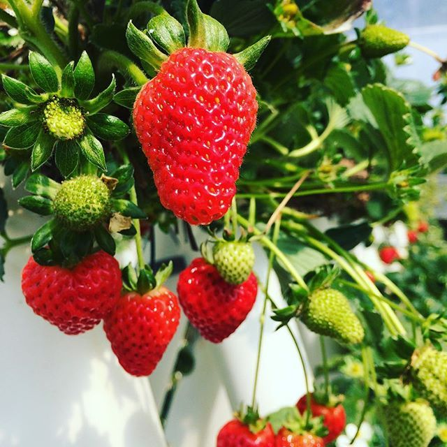 We love fresh produce, especially when you can select your own direct from the farm! #salad #2delicious4words #strawberries #aussiefarmers #freshfood