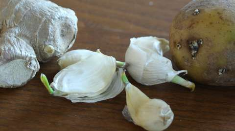 LEGG DEM I JORD: Ingefær, hvitløk og potet er alle vekster som det vokser spirer ut av. Ved å plante disse i en potte med jord, kan du dyrke fram masse ny deilig mat. Fra ett hvitløksfedd vil det komme en hel ny hvitløk.