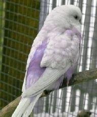 Zimt-Opaline Spangle Violett