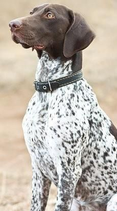 pointer ( reminds me of my dog lexi who is a brown lab mixed with a german shorthair pointer)