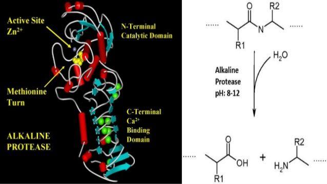 Sources of Alkaline Protease  Bacteria Fungi  Bacillus subtilis Aspergillus flavus  Bacillus pumilus Aspergillus fumigatus  Ba...