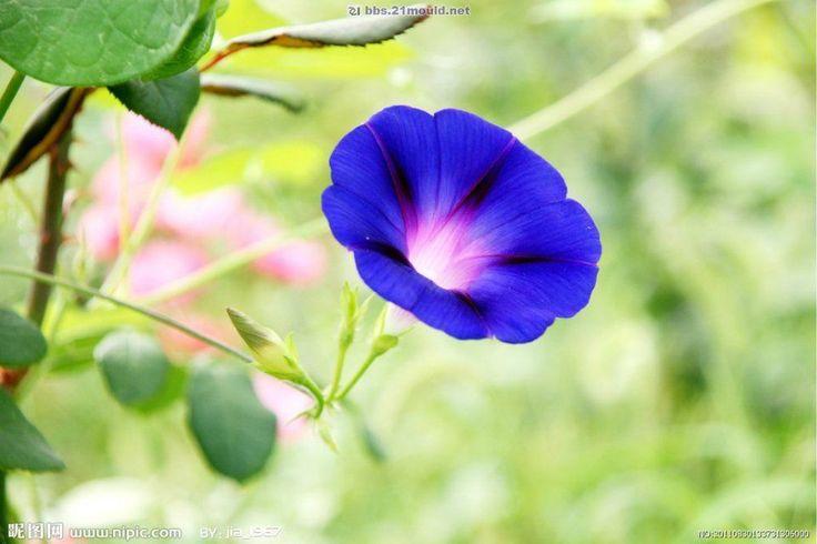 花名の朝顔は、朝に花を咲かせ、昼にしぼんでしまう様子を「朝の美人の顔」にたとえた「朝の容花(かおばな)」の意味といわれています。花言葉の「はかない恋」は花が短命であることから、「固い絆」は支柱にしっかりとツルを絡ませることに由来します。 @Taidobuy#taidobuy#ファション#デザイン#可愛い#きれい#お洒落#いいね#シック#レディース#メンズ服#靴#ドレス#ワンピース#下着&水着#トップス#バッグ#アウター#ボトムス#スカート#アクセサリー#ウエディング