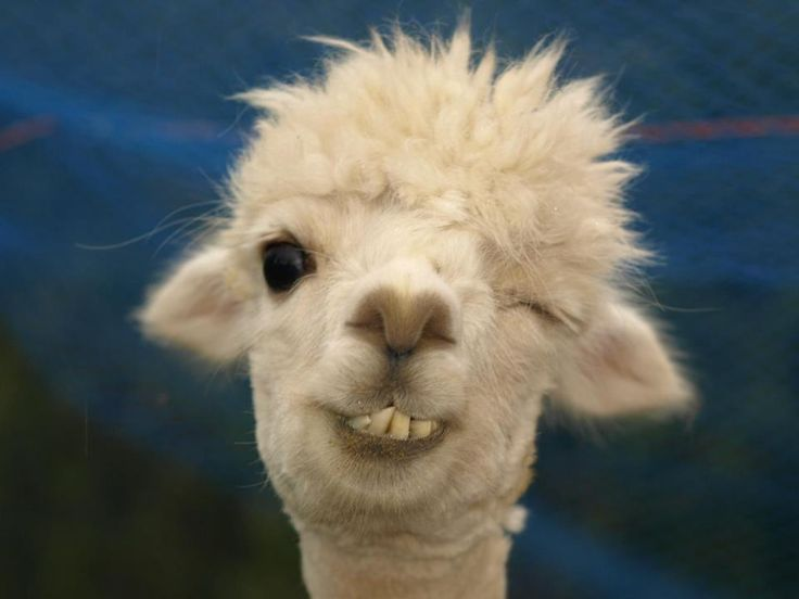 Best Llama face ideas on Pinterest
