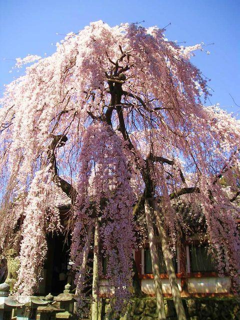 奈良で一番早く咲く「氷室神社」のしだれ桜で春を先取り!東大寺にも近くてアクセス抜群   奈良県   [たびねす] by Travel.jp
