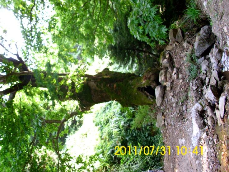 big tree-Hellas