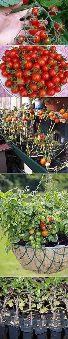Выращивание помидоров черри в открытом грунте   Дача - впрок