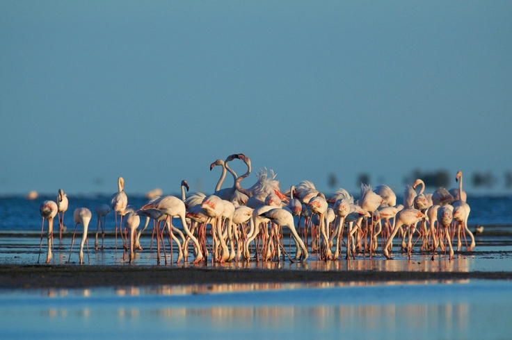 Flamants roses, Camargue, France