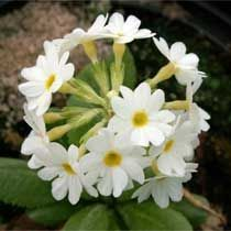 Clés du Paradis-Primula denticulata HORTIFLOR BUREAU