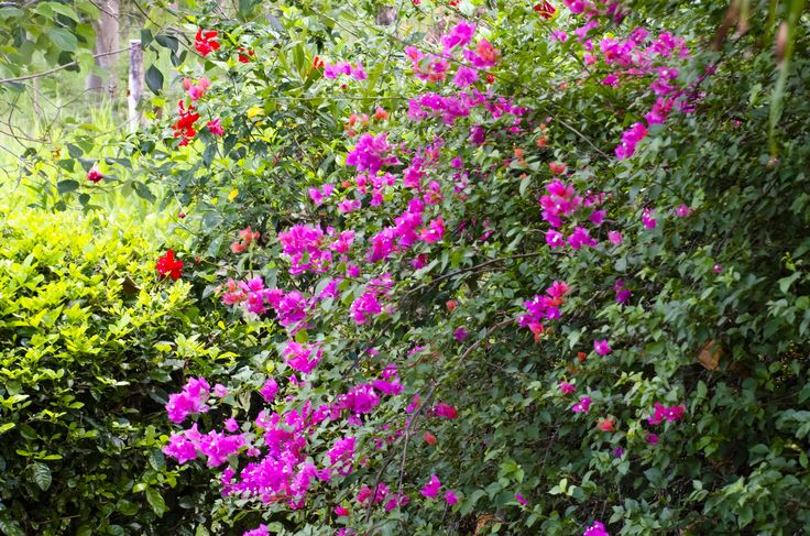 veranera, bugambilla, flores