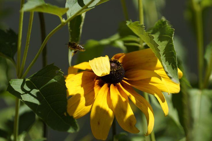 Jedna pszczoła robotnica może wyprodukować w swoim życiu miód w ilości 1/12 łyżeczki do herbaty. Kanie, Polska. Fot. Jan Gołąb