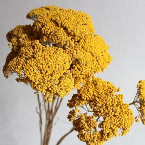 Flowers Dried Flowers Yarrow Flowers