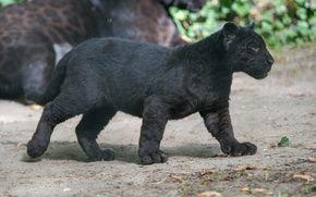Обои хищник, профиль, пантера, детеныш, черный ягуар, котенок, дикая кошка