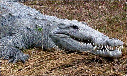 Photograph of American crocodile