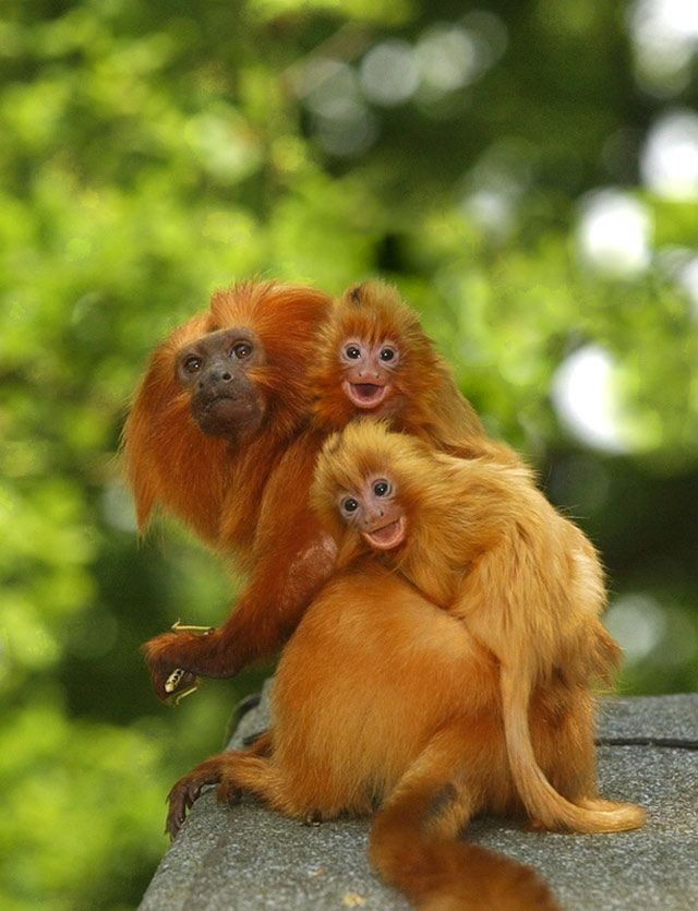 163 best Primates New World: Golden Lion Tamarin ...