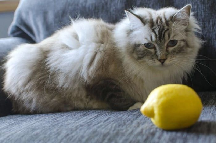 How To Use Lemon Spray To Kill Fleas On Cats Cat Fleas Flea Shampoo For Cats Cat Fleas Treatment