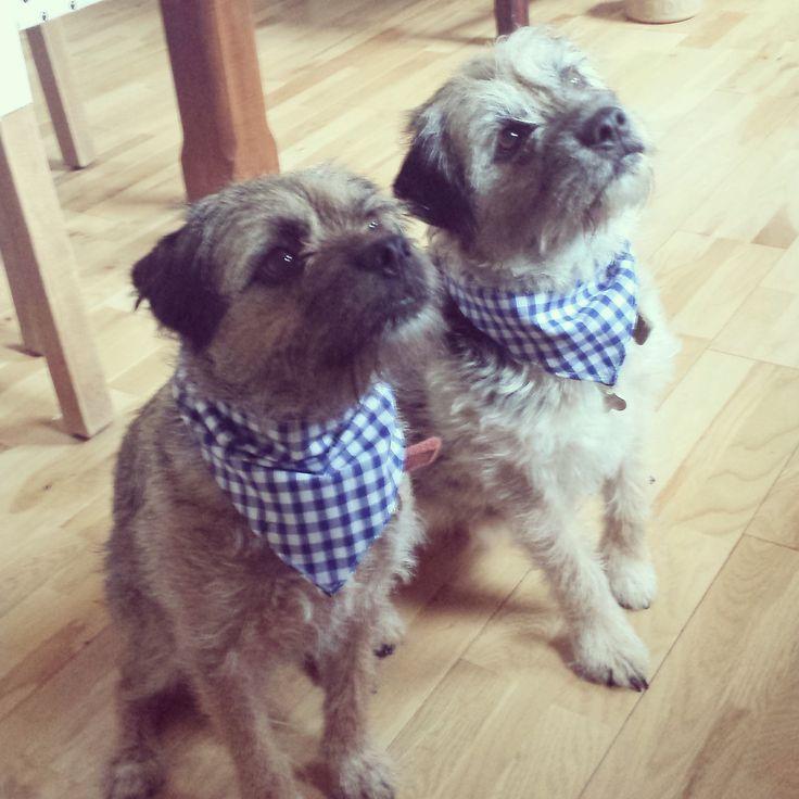 Harvey and Hugo Border Terriers