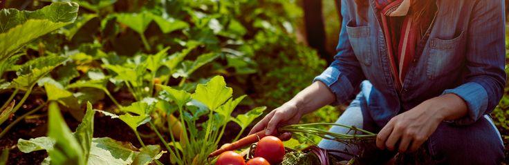 Albert Mondor vous donne des conseils sur comment créer votre aménagement paysager comestible autour de la maison: plantes potagères et arbres fruitiers.