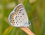 Karner Blue Butterfly at Neceda National Wildlife Refuge, WI