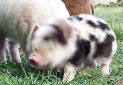shakin bacon gif - Baby pig piglet shaking