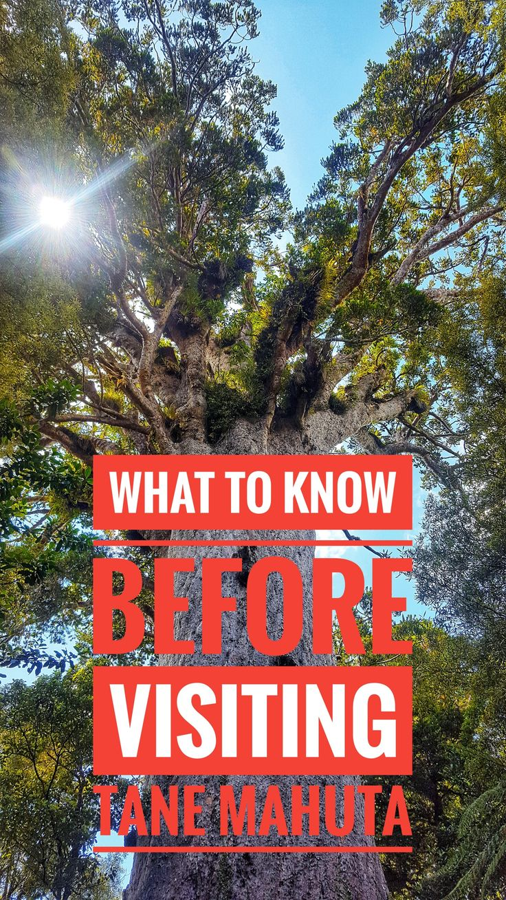 Looking to visit the oldest and largest kauri tree in all of New Zealand. Here is a guide to what you need to know before you go visit Tane Mahuta, the most famous tree in all of New Zealand! Visit The Lord of the Jungle!